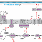 Metabolic model for cable bacteria